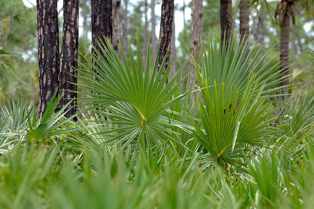 Pines and saw palmetto